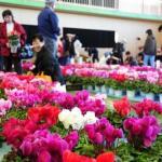 青森県田舎館村最大のイベント「収穫感謝祭&シクラメン市」開催!:2019年11月16日~17日