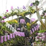 青森県 洋ラン2千鉢超、咲き誇る 平内町で3月22日まで祭り
