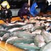 青森県今別、三厩沖 漁協など2019年から本格養殖=初水揚げ 養殖サーモン2千匹丸々