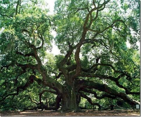 john-angel oak