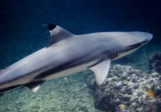 Balck Tip Reef Shark