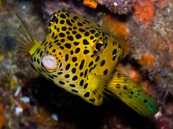 Yellow Boxfish Juv.