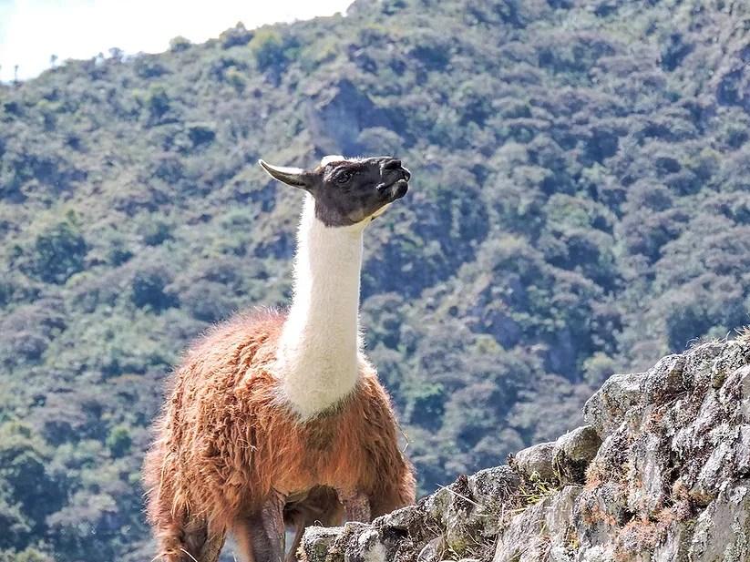 Machu Picchu, Peru: As lhamas habitantes da cidade sagrada