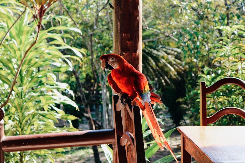 Arara vermelha no hotel de selva