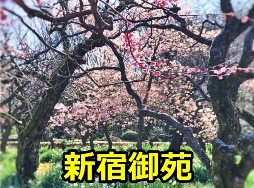 新宿御苑の花見の夜桜のライトアップはある?駐車場や混雑予想について!