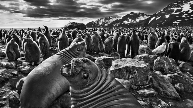 Sebastiao Salgado Genesis, Sebastiao Salgado Ausstellung, Kälber des Südlichen Seeelefanten, Saint Andrews Bay auf Südgeorgien,