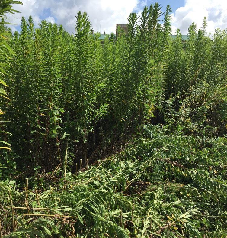 草刈機による雑草対策で背高の雑草が増える|太陽光発電業界の常識くつがえす衝撃情報