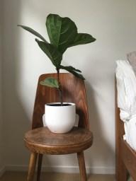Ficus lyrata taking a pew