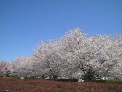 坂戸泉町桜堤2