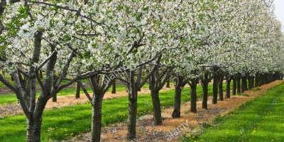 agriculture-apple-orchard-in-full-bloom-near-ste-catherines-ontario-BYRCCC
