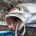 釣り部55 満潮の真昼間と干潮の朝マズメでルアー釣りをしたら・・・