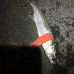 釣り部67 真冬の焼津港!ライトゲームで狙える魚!カマス、セイゴ、カサゴ、アジ、そして・・・