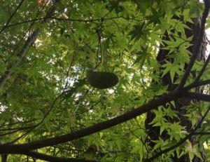 茶室の庭に1つだけアケビの実が生っていました。