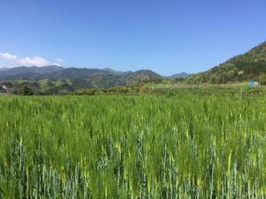 麦畑と裏山