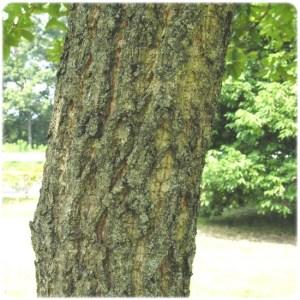 クヌギの樹皮