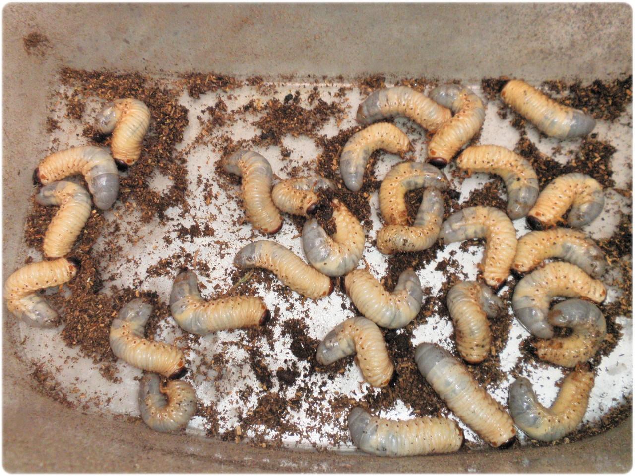 土 出る 幼虫 カブトムシ から