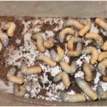 カブトムシの幼虫飼育初心者におすすめのマットとは?