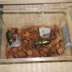 ローゼンベルクオウゴンオニクワガタの産卵セット