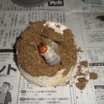 スマトラオオヒラタの幼虫、菌糸ビン飼育とマット飼育の経過①