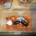 小さなスマトラオオヒラタ^^;のブリード、幼虫飼育のスタート