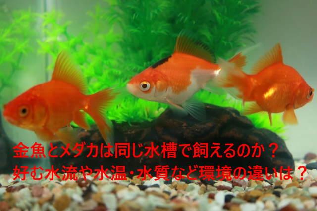 金魚とメダカは同じ水槽で飼えるのか?好む水流や水温・水質など環境の違いは?
