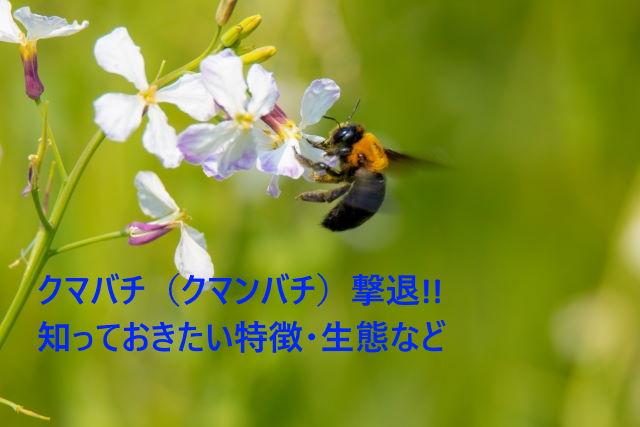 クマバチ(クマンバチ)撃退!!知っておきたい特徴・生態など