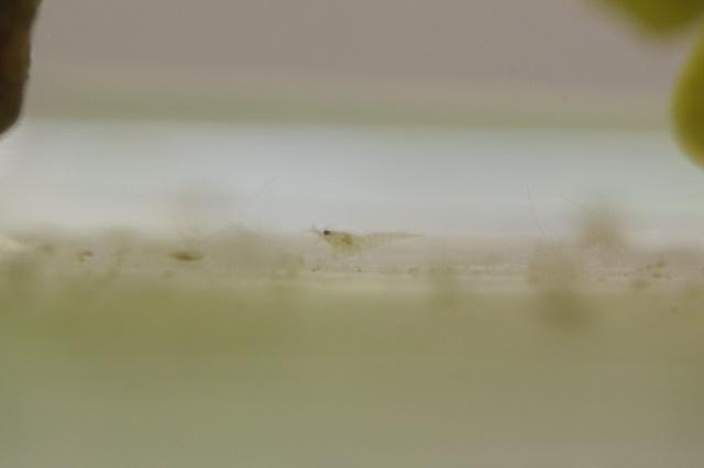 ヌカエビの飼育は難しい?水槽内での繁殖はできる?