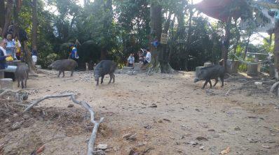 Babi hutan sini tak kejar orang