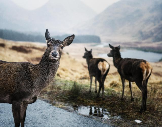 Scottish Highlands Itinerary - Inquisitive deer