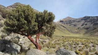 Quenua, arbre poussant jusqu'à 5000m d'altitude
