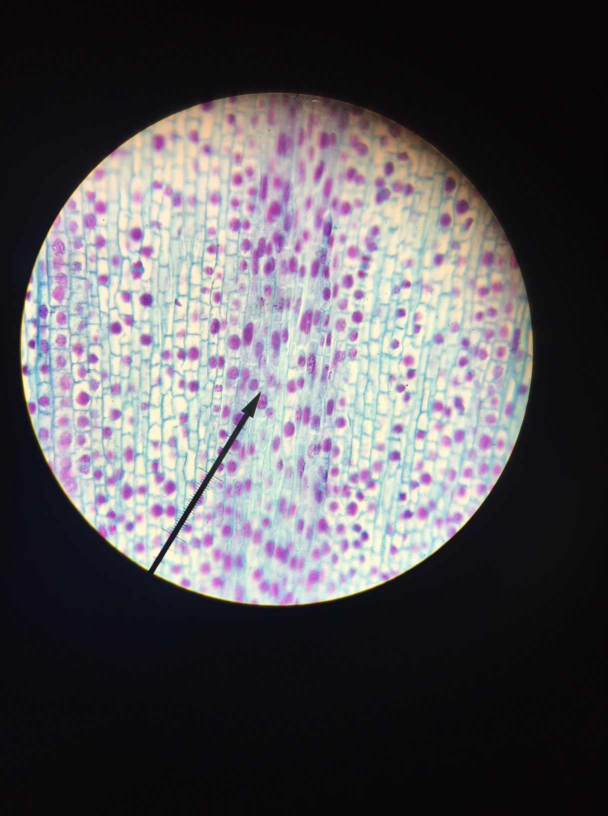 Onion Root Tip Cell Lab