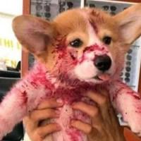 Este perrito le dio el peor susto a su dueña… pero solo fue una travesura