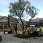 olive-tree-4