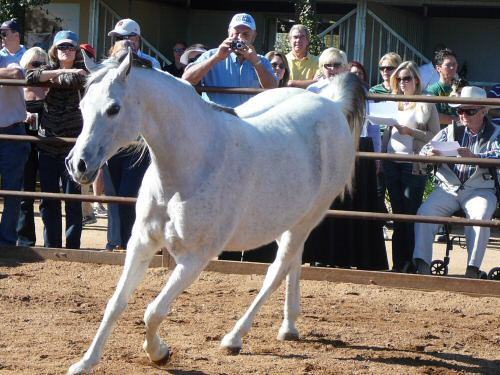 White Arabian Colt in Corral
