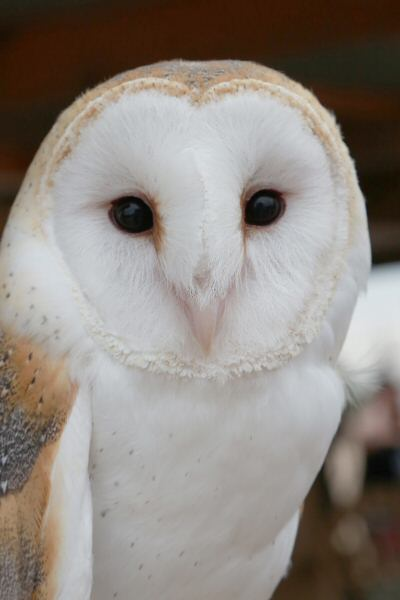 Barn owl poses for a beautiful photograph at Wild At Heart's exhibit. (Courtesy of Dennis Liddell.)