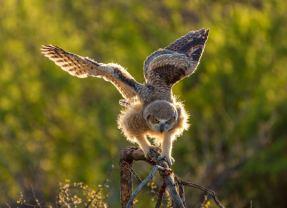 Wild at Heart Owl Release Brings Happy Ending
