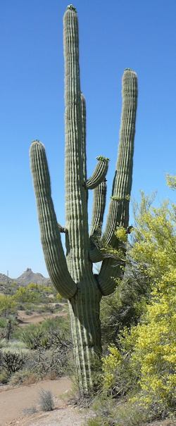 The landscape is studded with magnificent saguaro, like this one.