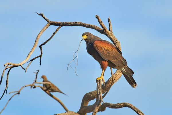 Harris Hawk, Courtesy of Tom Mangelsdorf