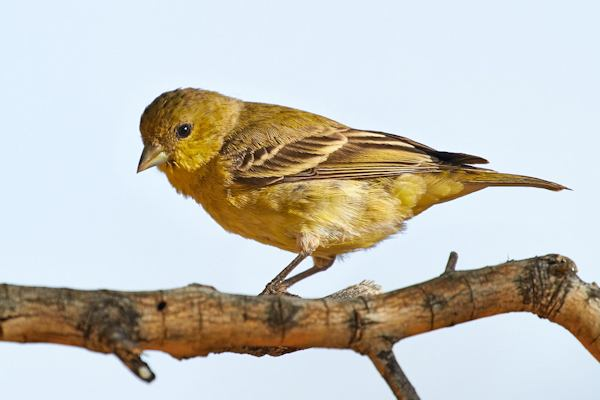 Lesser Goldfinch, Courtesy of Tom Mangelsdorf