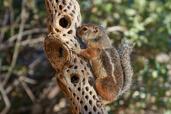 Harris Ground Squirrel (the bonus), Courtesy of Tom Mangelsdorf
