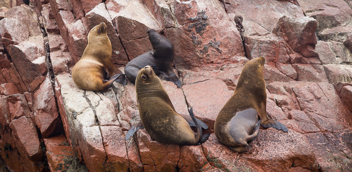 sea lions watching us on the Islas Ballestas Tour
