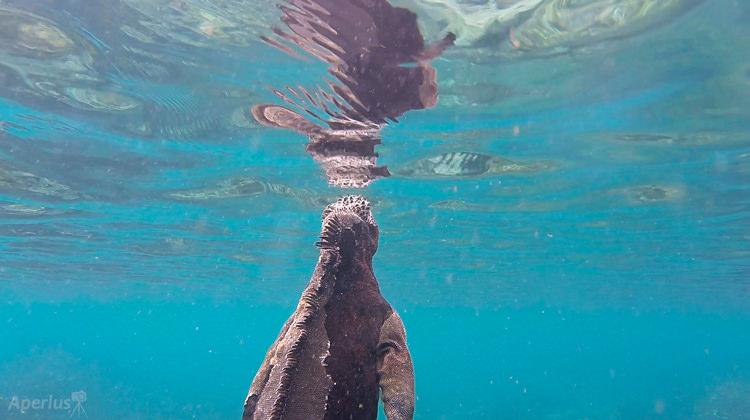 Marine Iguanas Swimming and Eating Underwater – Video