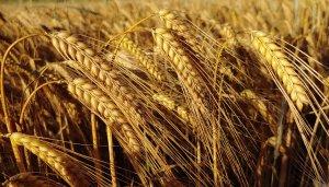 barley in field