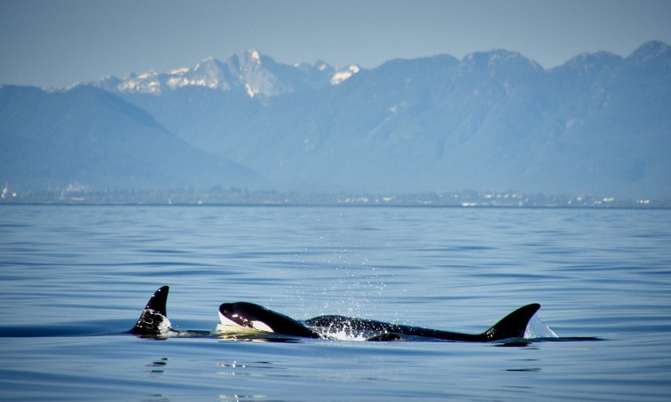 Second pod of Orcas!