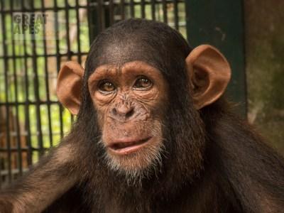 chimpanzee Mefou Primate Park, Cameroon