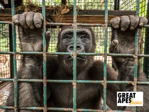 chimpanzee skull poaching Cameroon