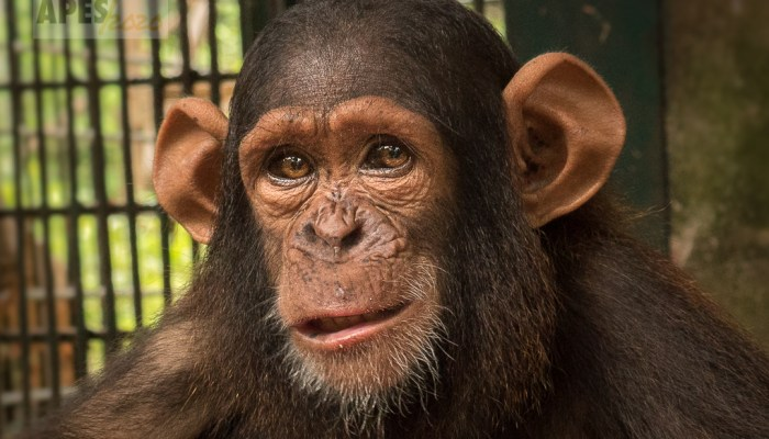 chimpanzee orphan Ape Action Africa