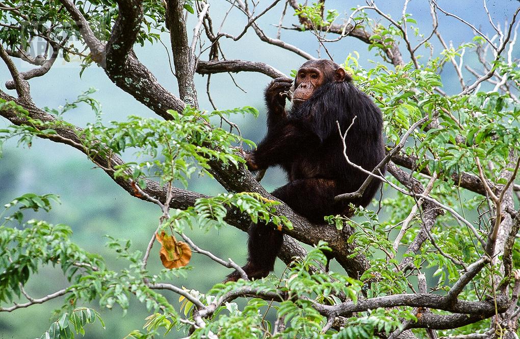 chimpanzee Gombe Stream NP Tanzania
