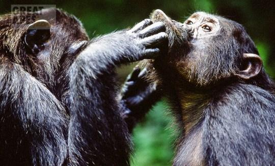 chimpanzees Gombe Stream NP Tanzania