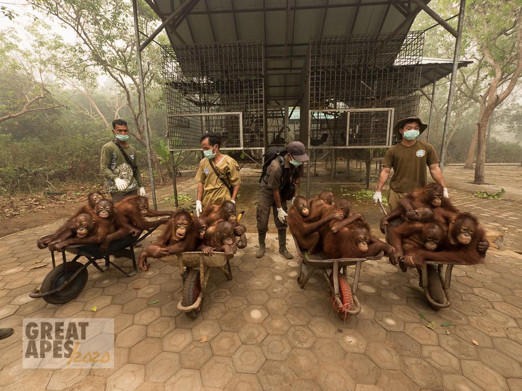 orangutan poaching victim, Yayasan IAR, Ketapang West Kalimantan, Borneo Indonesia
